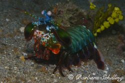 Mantis Shrimp coming a tat too close to my lens ;-) by Barbara Schilling 